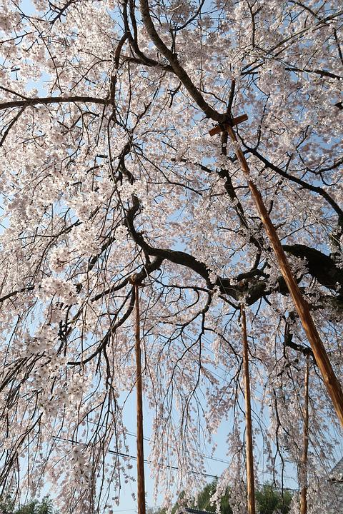 Wood, Branch, Seasonal, Natural, Cherry Blossoms