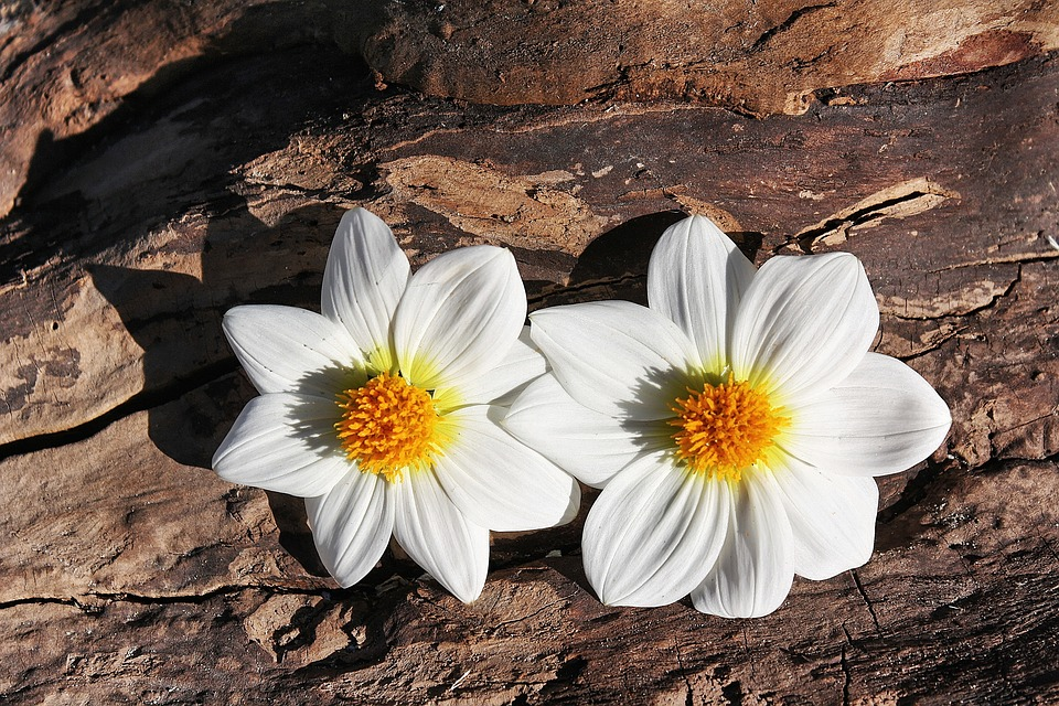 Daisy, Flowers, Plant, Two, Wood
