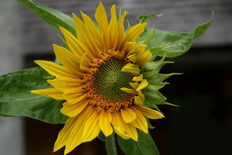 Sun Flower, Blossom, Bloom, Plant, Wood Fence, Yellow