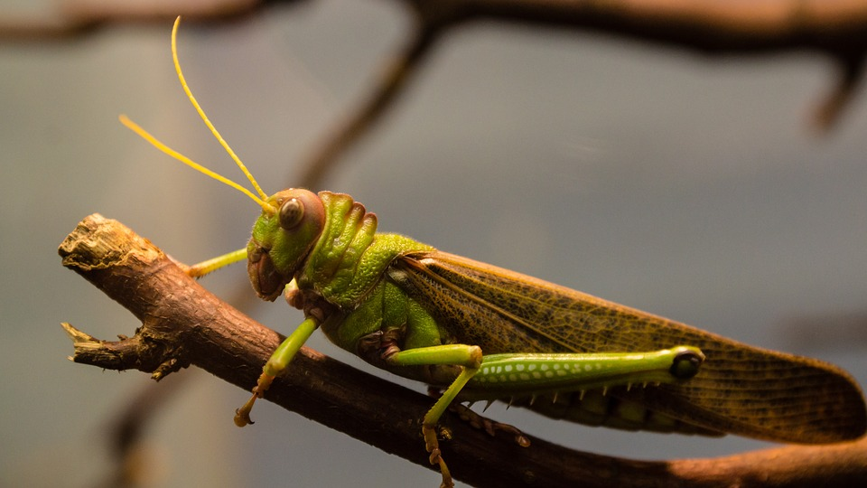 Grasshopper, Insect, Antennae, Wood, Nature, Giant