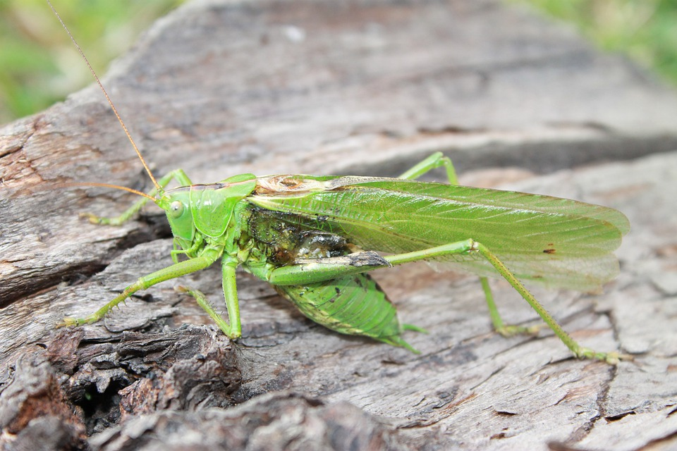 Grasshopper, Wood, Insect
