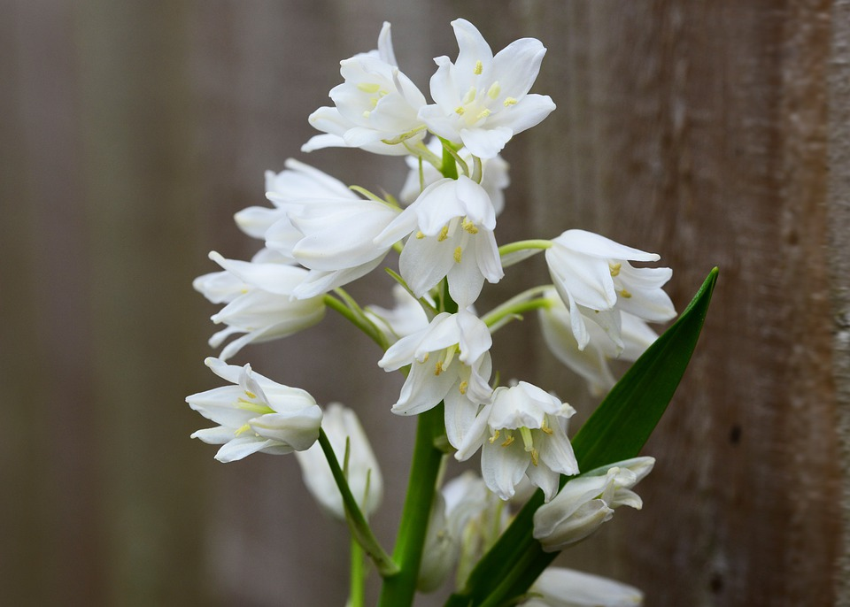 Wood Hyacinth, White, Bell Flower