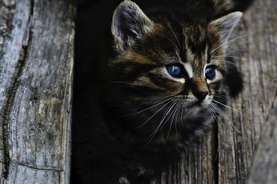 Cat, Kitten, Cute, Little, Wood, Feline, Head