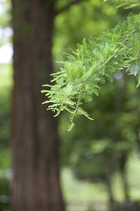 Meta Sequoia, Botanical Garden, Wood