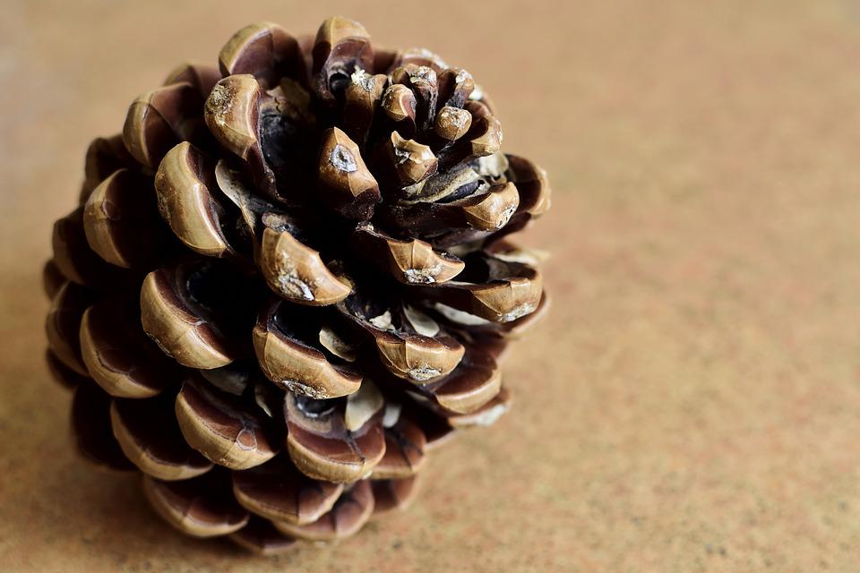 Pine Cone, Pine, Tree, Nature, Wood, Forest, Green