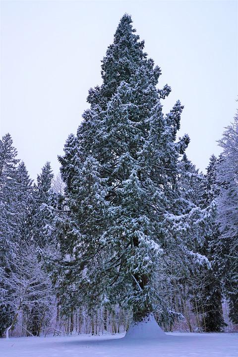 Winter, Snow, Tree, Frost, Wood, Season, Fir, Pine