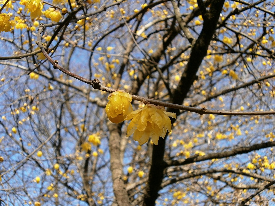 Plum, Robin, Flowers, Wood, Yellow