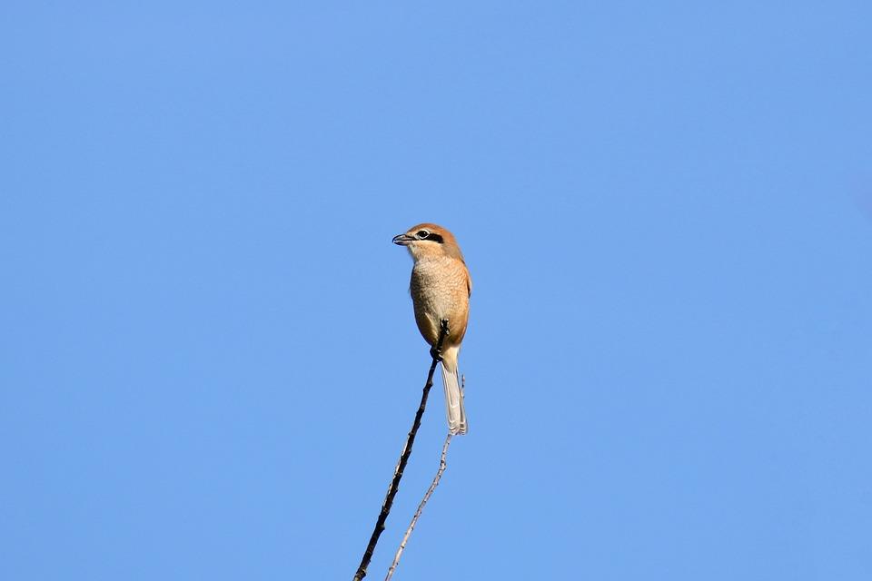 Animal, Sky, Wood, Wild Birds, Little Bird, Shrike