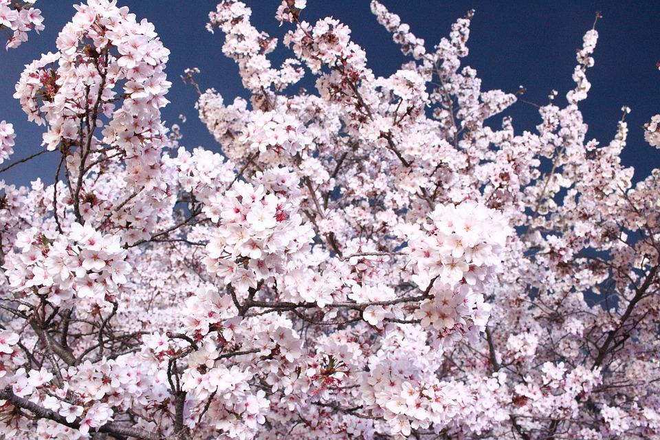 Nature, Flowers, Spring, Cherry Tree, Wood, Quarter