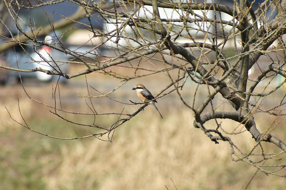 Animal, Park, Grass, Wood, Bird, Wild Birds, Shrike
