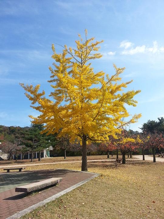 Ginkgo, Landscape, Yellow, Wood, Park, Autumn