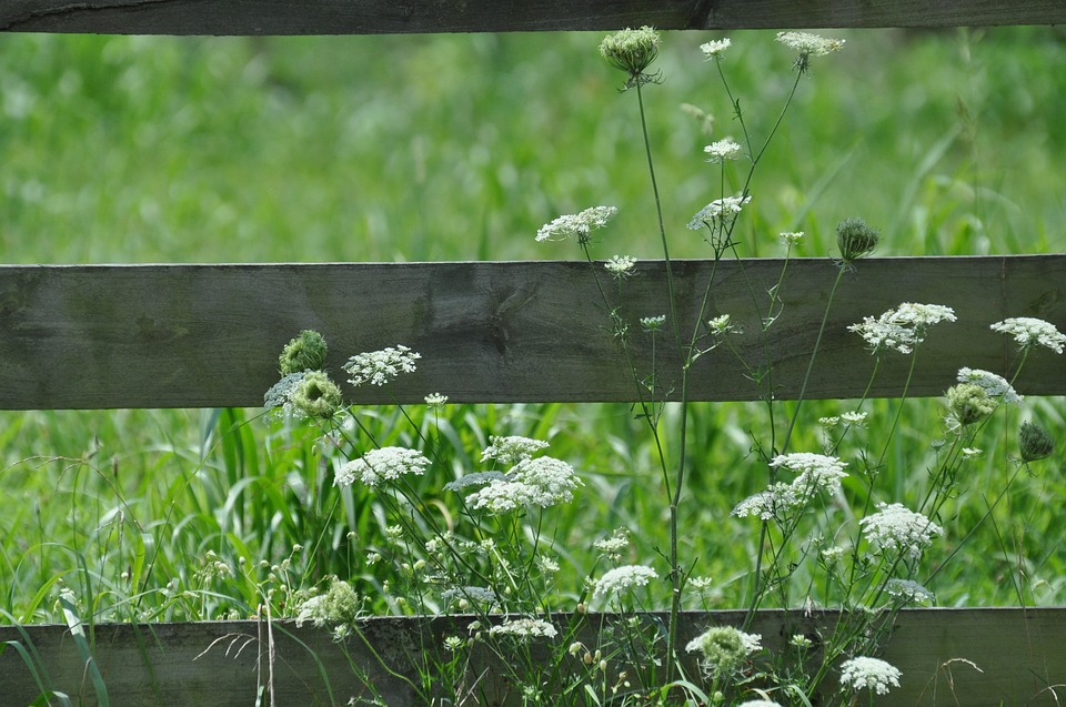 White Flowers, Wooden Fence, Queen Ann Lace, Bloom