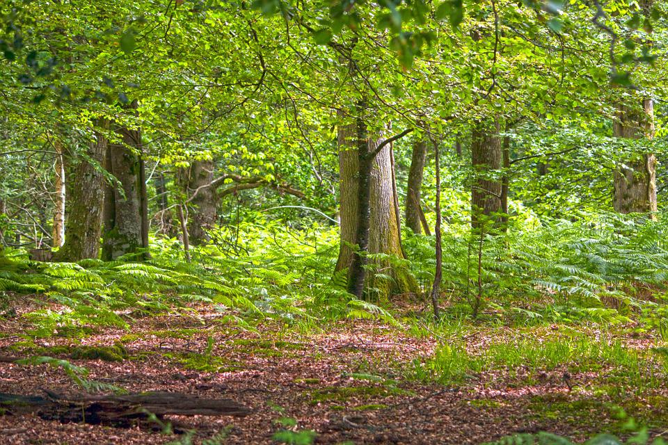 Forest, Woods, Woodland, Trees, Nature, Landscape
