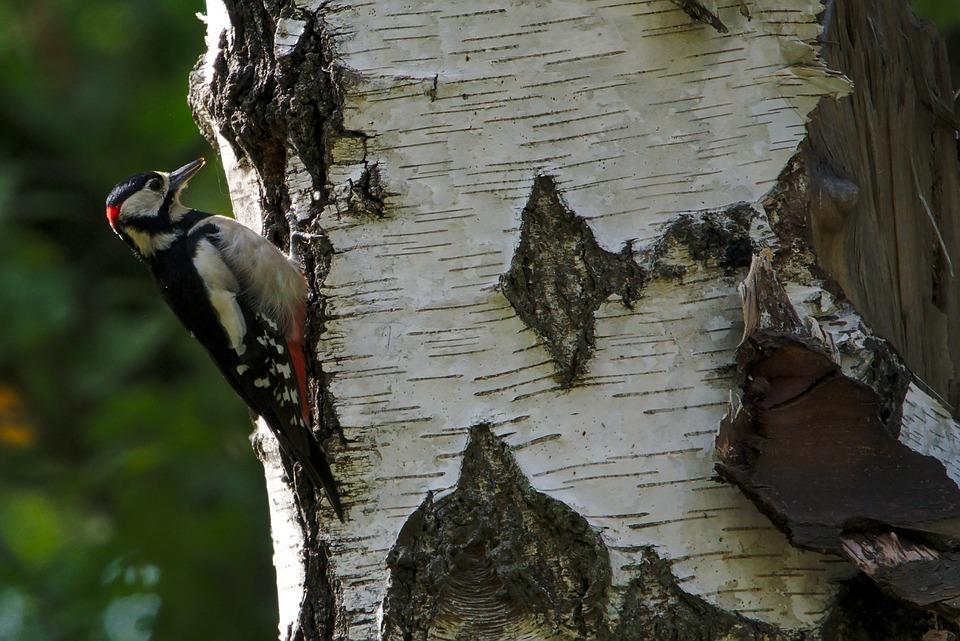 Woodpecker, Bird, Tree, Great Spotted Woodpecker, Avian