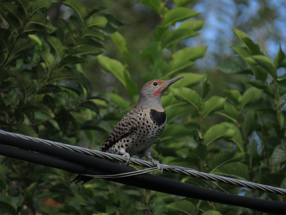 Northern Flicker, Bird, Bird On A Wire, Woodpecker