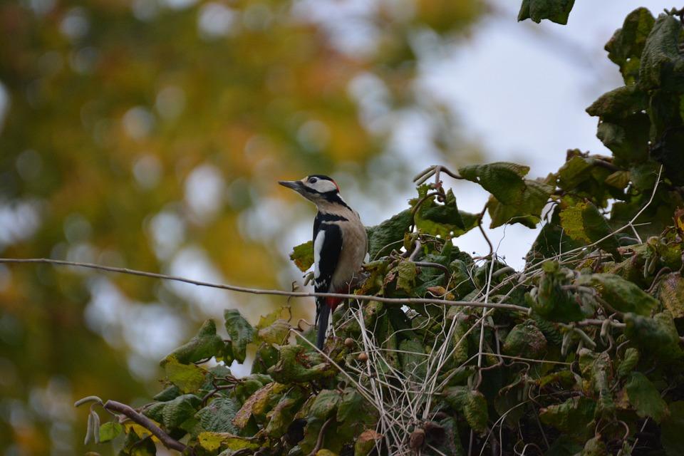 Great Spotted Woodpecker, Bird, Nature, Woodpecker