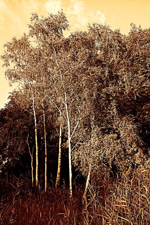 Birch, Tree, Birch Tree, Woods, Nature, Landscape