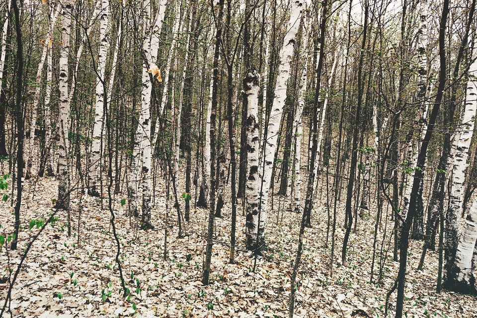 Forest, Woods, Trees, White, Bark, Nature