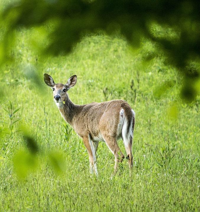 Free photo Deer Mammal Nature Stag - Max Pixel