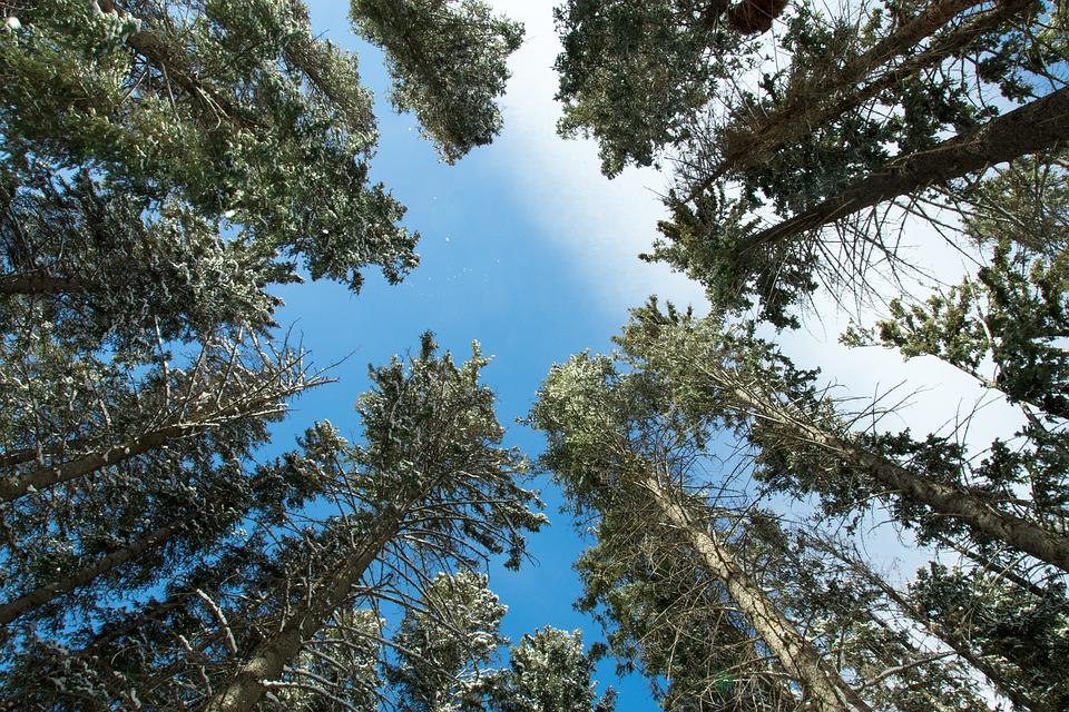 Trees, Tall, Forest, Woods, Woodlands, Conifers