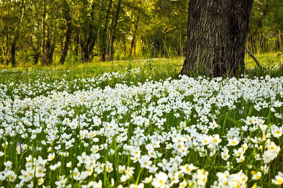 Flowers, White, Fields, Gardens, Trees, Woods, Wooden