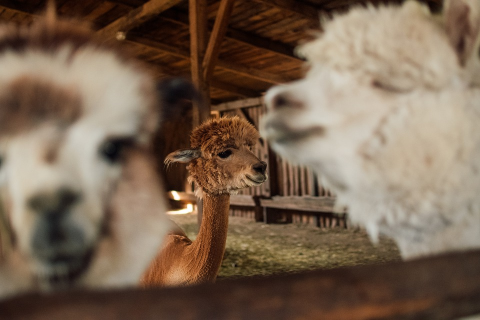 Alpaca, Cottages-vacation Rentals, Wool, Fur