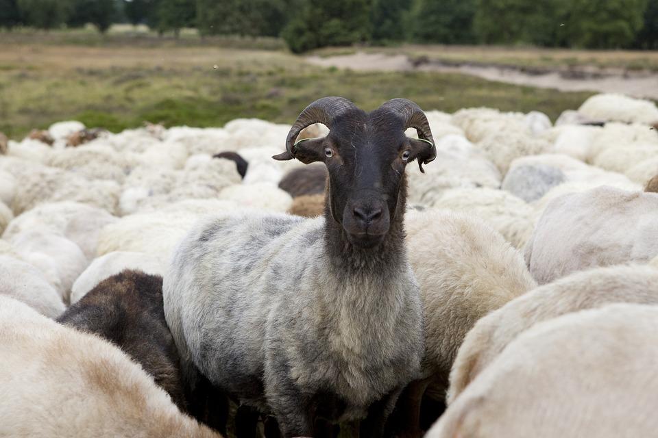 Sheep, Drenthe, Herd, Cattle, Wool, Natuuronderhoud