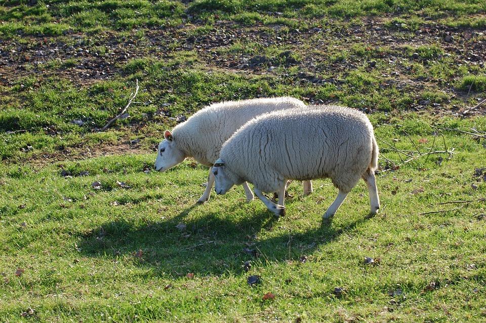 Sheep, Pasture, Green, Wool, Netherlands, Zealand