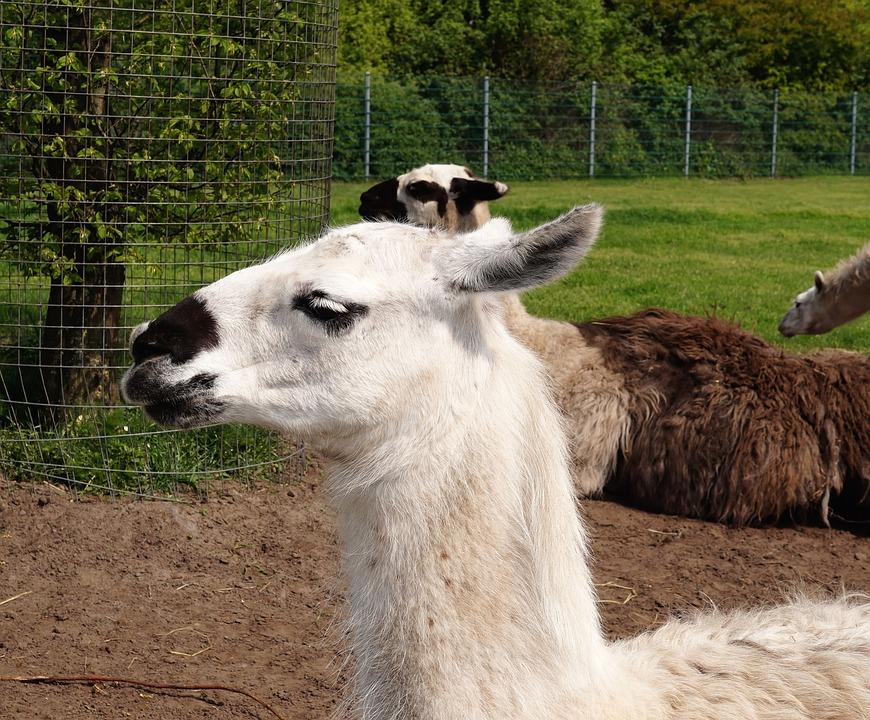 Lama, Animal, Head, Fluffy, Fur, Portrait, Ears, Wool