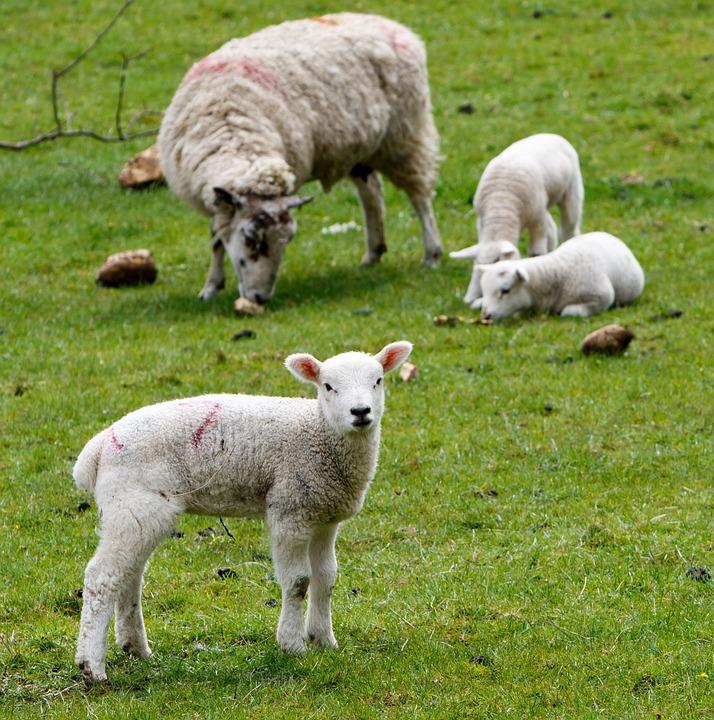 Lamb, Sheep, Wool, Farm, Grass, Nature, Agriculture