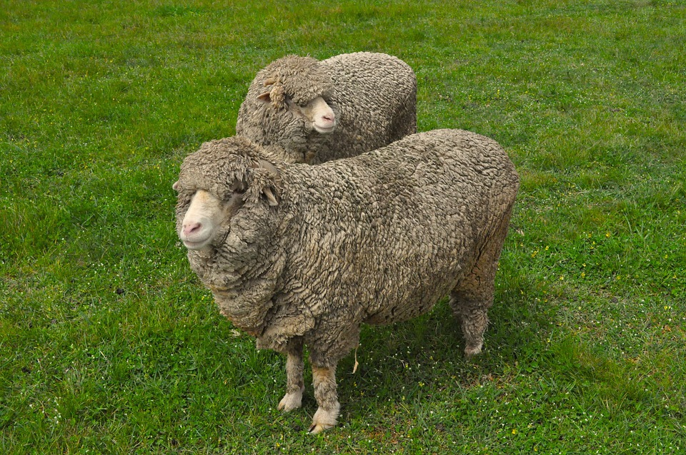 Sheep, Wool, Paddock, Animal, Farm, Lamb