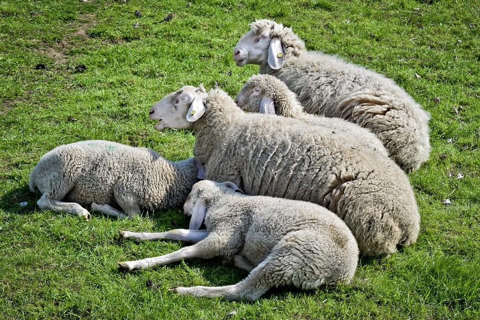 Animal, Sheep, Lamb, Wool, Nature, Cattle, Flock