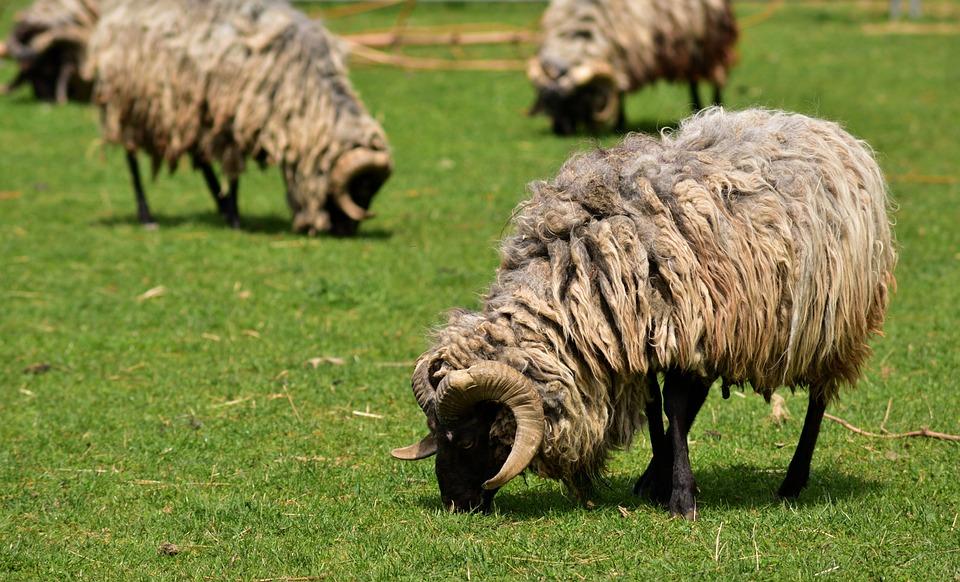 Sheep, Schnucke, Heidschnucke, Flock, Mammal, Wool