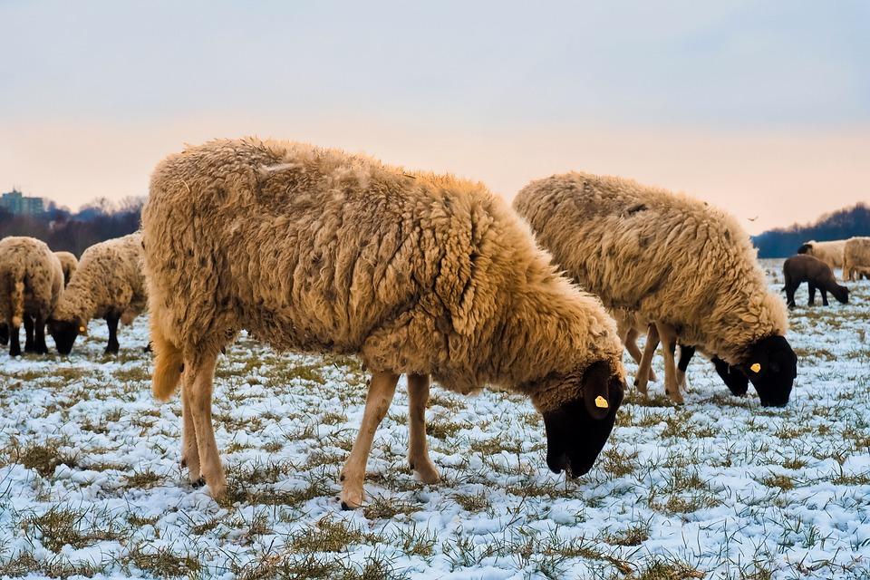 Sheep, Animals, Lamb, Wool, Nature, Farm, Cattle