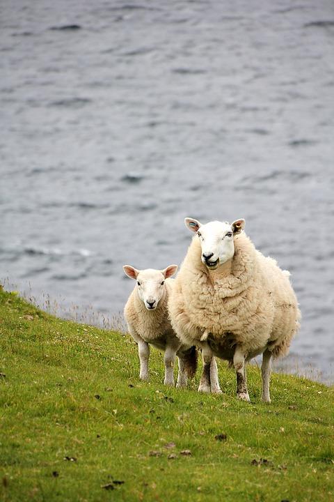 Sheep, Lamb, Meadow, Pasture, Schäfchen, Wool, Dike