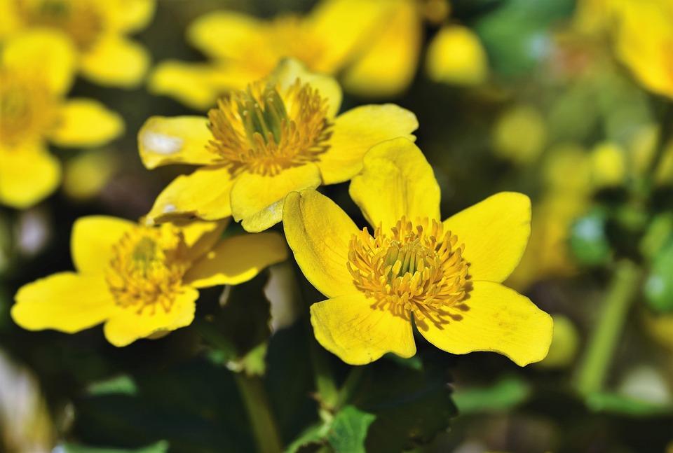 Woolly Sunflower, Eriophyllum, Basket Blüttler, Blossom