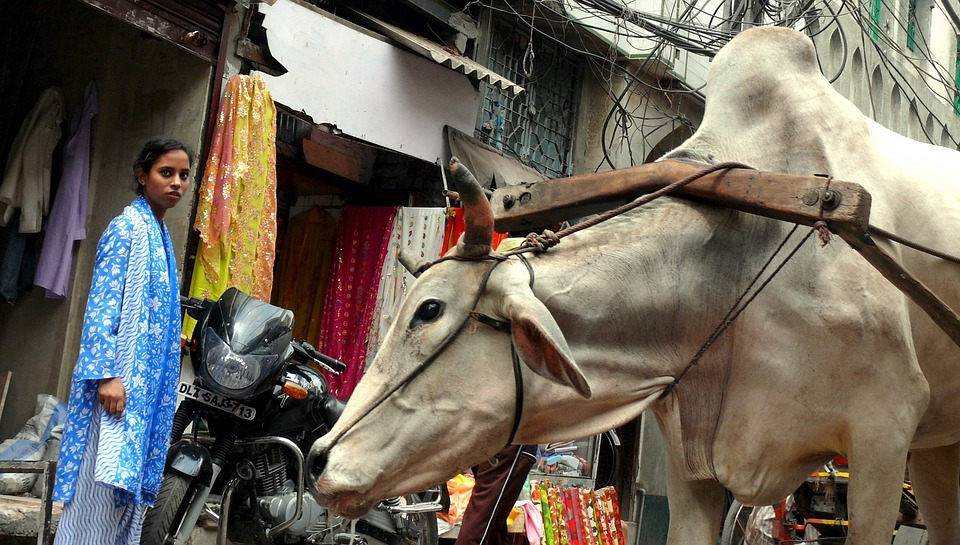 Cow, New Delhi, India, Work, The Burden Of, Fatigue