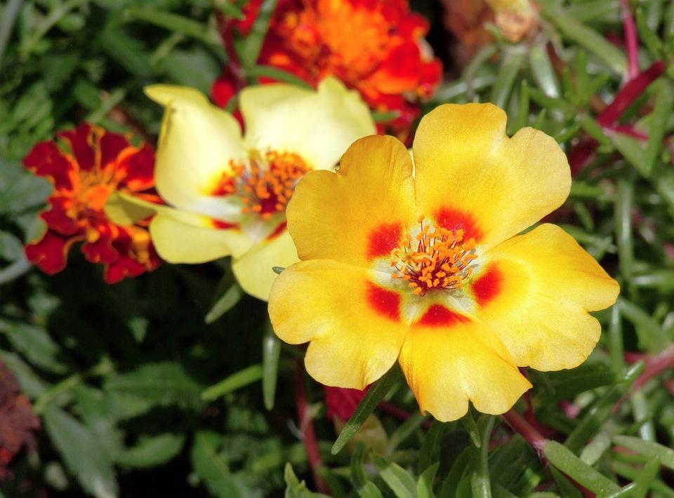 Moss Rose, Worm Flower, Stone Flower