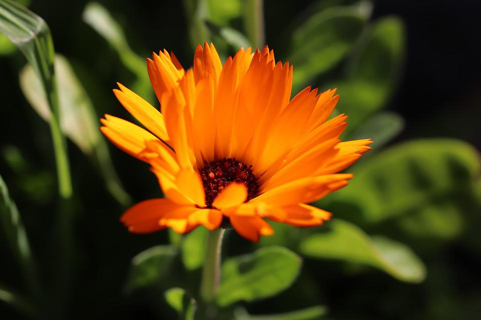 Flower, Orange, Worry, Garden, Nature, Spring, Bloom