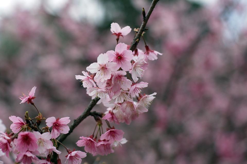 Cherry Blossoms, Wulai, Taiwan