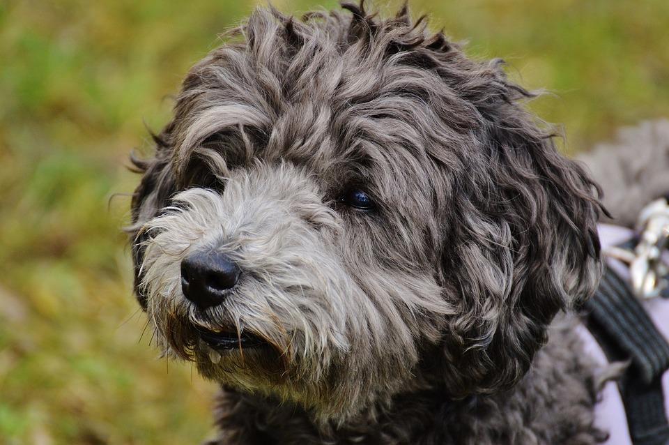 Dog, Fur, Pet, Animal, Wuschelig, Animal Fur