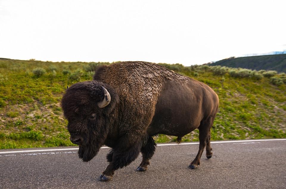 Bison, Usa, Wyoming, Yellowstone National Park, Buffalo