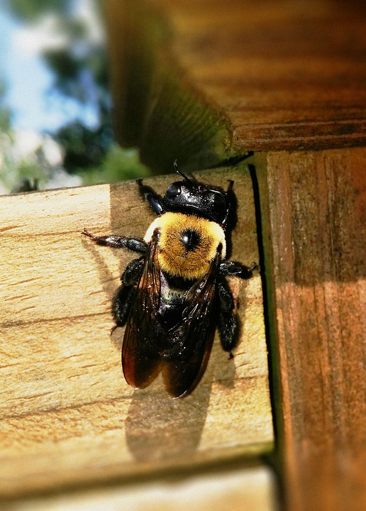 Carpenter Bee Xylocopa Xylocopinae Large