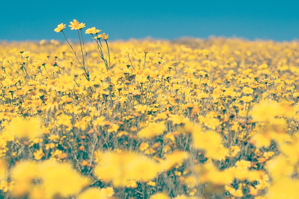 Free photo yard yellow blue field flowers farm sky garden max pixel yellow flowers farm yard field garden blue sky mightylinksfo