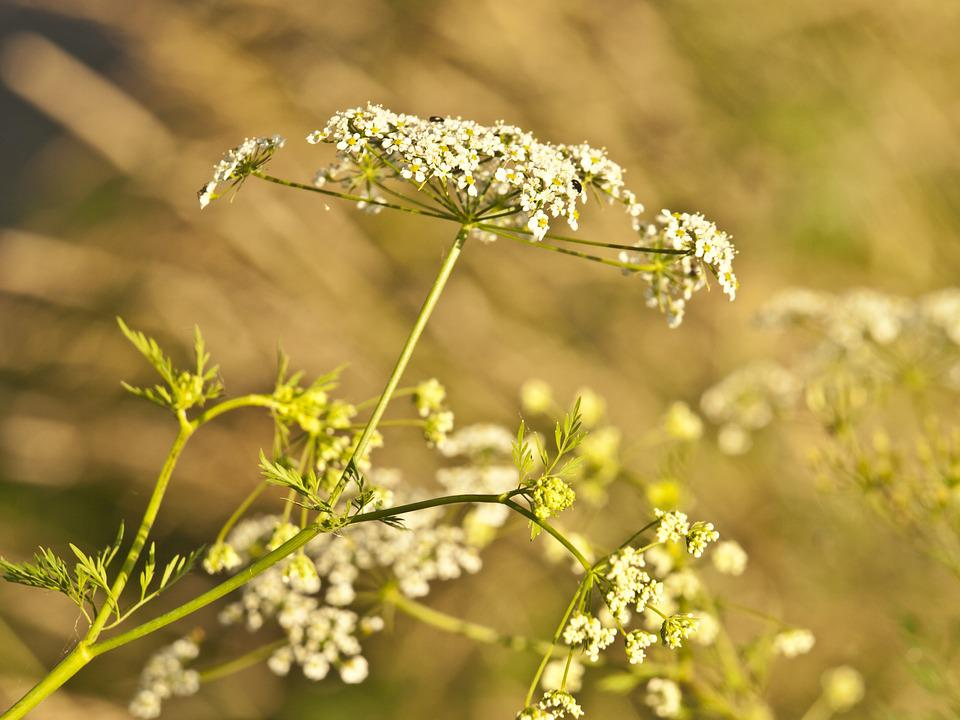 Yarrow, Herb, Meadow, Herbs, Summer, Urticaceae