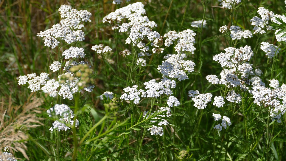 Yarrow, Meadow, Summer, Nature, White, Grassland Plants