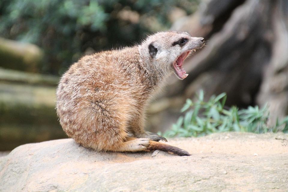 Meerkat, Zoo, Tooth, Yawn, Fur, Animal