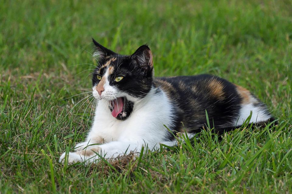 Cat, Tricolor, Yawn, Grass