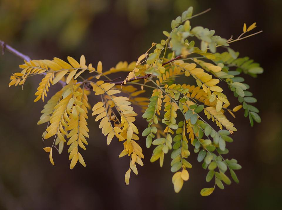 Acacia, Leaves, Yellow, Autumn, Casey, Nice