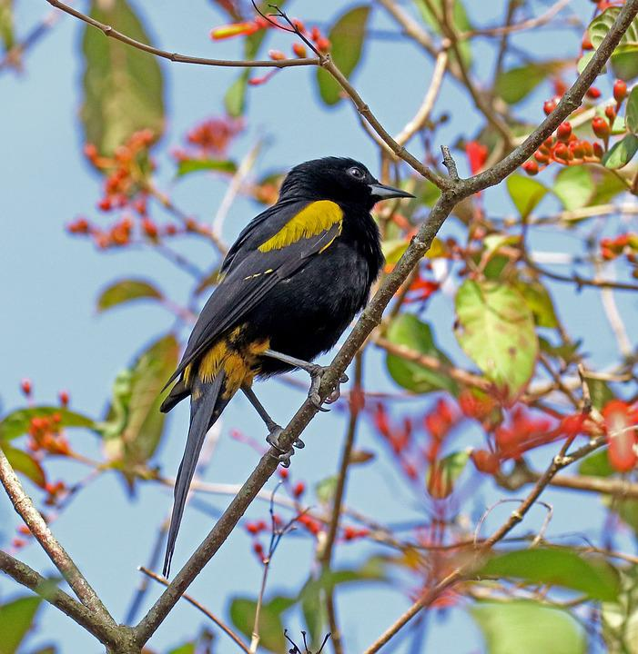 Cuban Oriole, Cuba, Yellow And Black, Bird, Forest